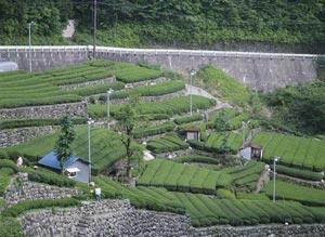 Japonská čajová plantáž