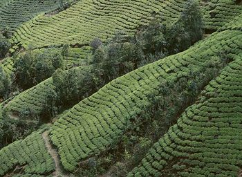 Strmé svahy dárdžilingských plantáží